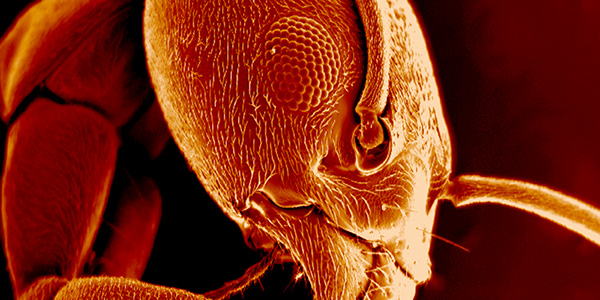 Ant magnified 70x